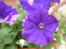 ペチュニア・ドラセナ-weekly flower-