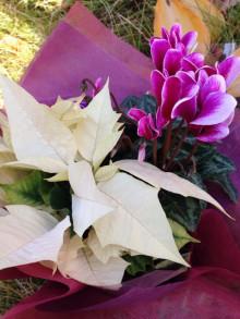 冬の花ーポインセチア シクラメン