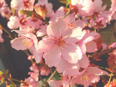 今週の花-桜-町家カフェ1周年イベント情報!
